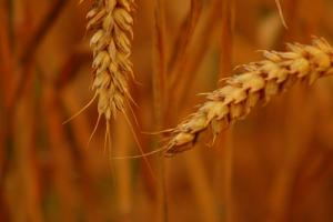 Il kamut: cereale antico?